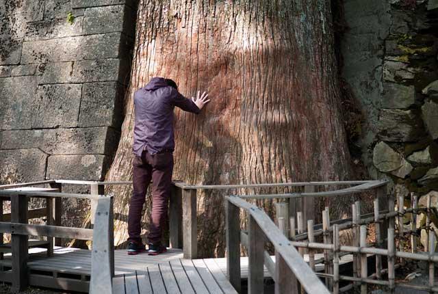 樹齢800年の御神木