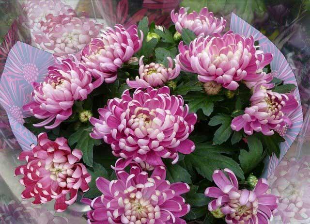 菊のイメージ