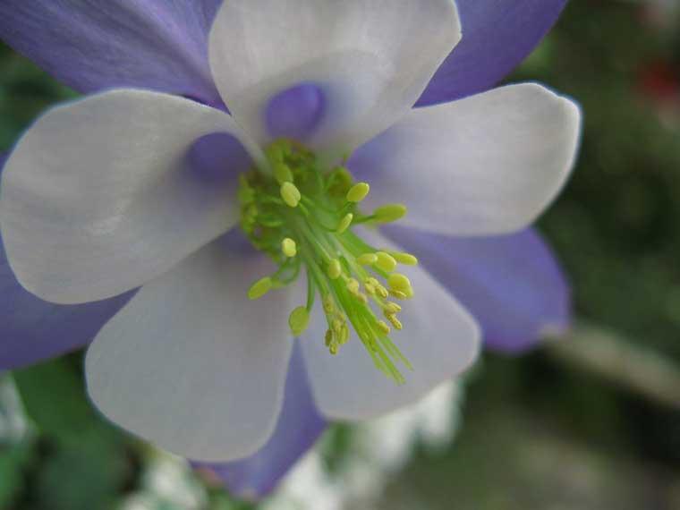 苧環(オダマキ)の花